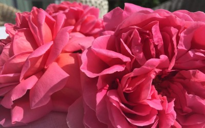 Rosensirup selbst herstellen